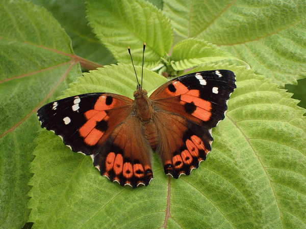 orange and black butterfly on mamamki leaf