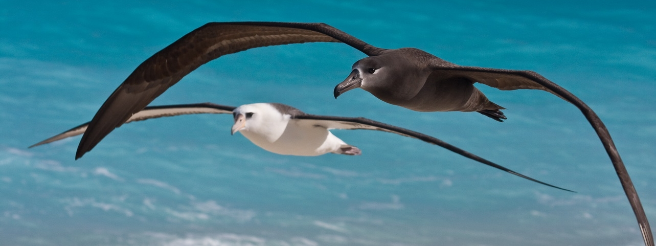 Black-footed and Laysan Albatross