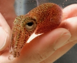 Hand holding Hawaiian bobtail squid